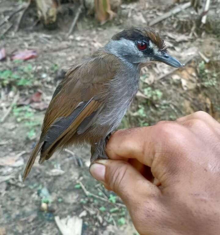 Des chercheurs ont retrouvé du côté de l'île de Bornéo, un oiseau qu'ils pensaient disparu. © BordingASIA