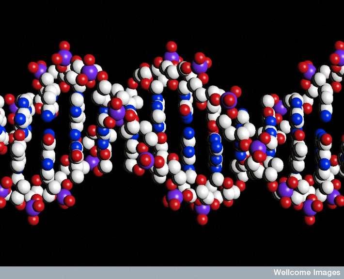 L'ADN est la molécule fondamentale du vivant. En cas de lésions ou de mutations à des endroits précis du génome et surtout si celles-ci ne sont pas réparées, la cellule risque de s'emballer et de se diviser indéfiniment, formant une tumeur, cancéreuse ou non. © Peter Artymiuk, Wellcome Images, Flickr, cc by nc nd 2.0