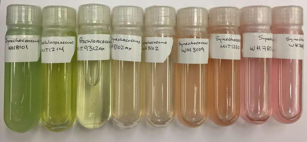 Des cultures de Prochlorococcus et Synechococcus, des cyanobactéries sévèrement affectées par la pollution plastique. © Allison Coe, Chisholm Lab, MIT