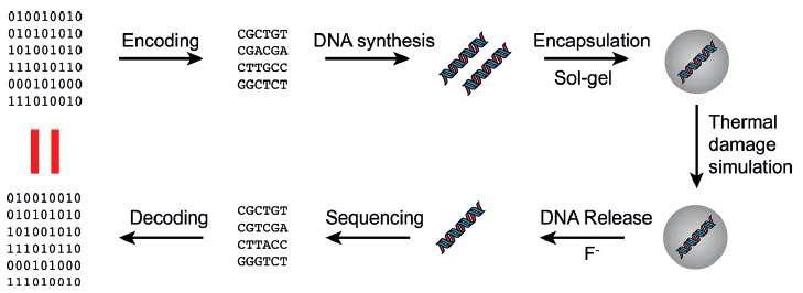 Il est possible d'encoder une information en binaire sous la forme d'une série de bases de l'ADN représentées par les lettres A, C, G et T. Il faut ensuite synthétiser un brin d'ADN contenant cette information puis le stocker dans une nanosphère de silice. L'ADN peut ultérieurement être extrait, séquencé et décodé. L'expérience montre que, même après un traitement thermique pour simuler une dégradation du temps de plusieurs millénaires, il est possible de retrouver exactement l'information initiale. © Robert N. Grass et al., ANIE