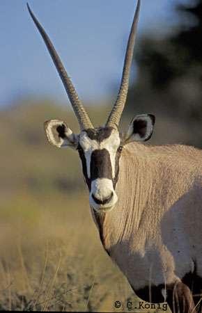 Oryx.