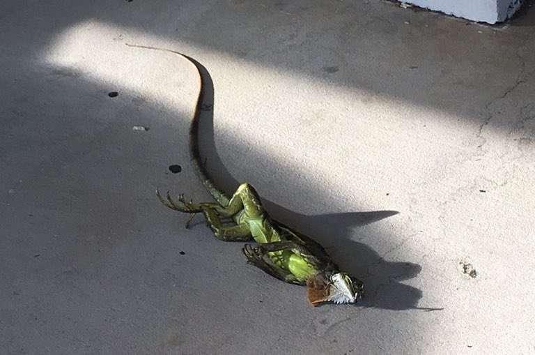 D'autres animaux ont été affectés par la vague de froid qui a touché les États-Unis en ce début janvier. En Floride, des iguanes sont tombés des arbres, saisis par le froid. Mais grâce à de bons samaritains, ils ont pu se réchauffer au soleil et repartir d'un bon pied… © Chris N, Twitter, @chrisfl17