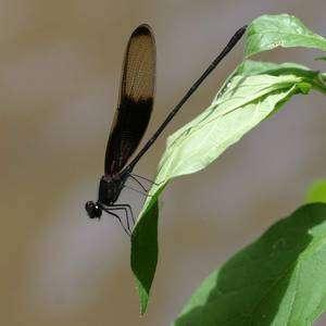 Hetaerina titia mâle, dont l'apparence a été utilisée pour berner des mâles de Hetaerina occisa. © UCLA