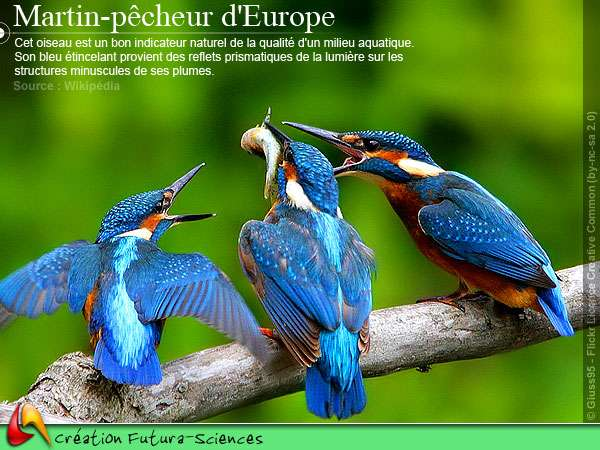 Martin Pêcheur d'Europe