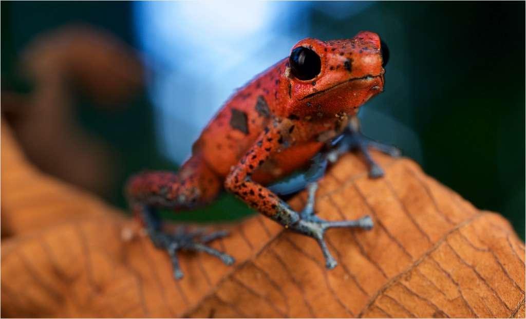 Oophaga pumilio ou la grenouille des fraises