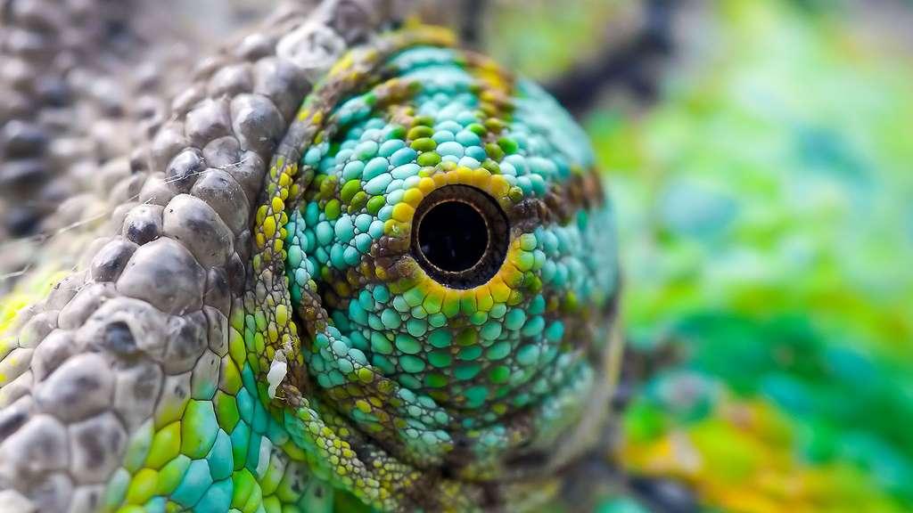 L'œil protubérant du caméléon