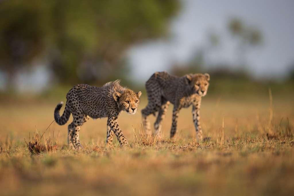 Mignons, ces jeunes guépards avec leur crinière, non ?