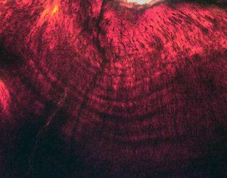 Une image montrant les anneaux de croissance d'une dent de dinosaure, Hypacrosaurus stebingeri. © Gregory Erickson, FSU
