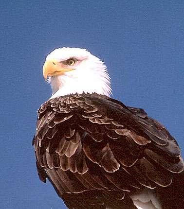 Le pygargue à tête blanche est appelé Bald eagle en Amérique du Nord. © Reproduction et utilisation interdites