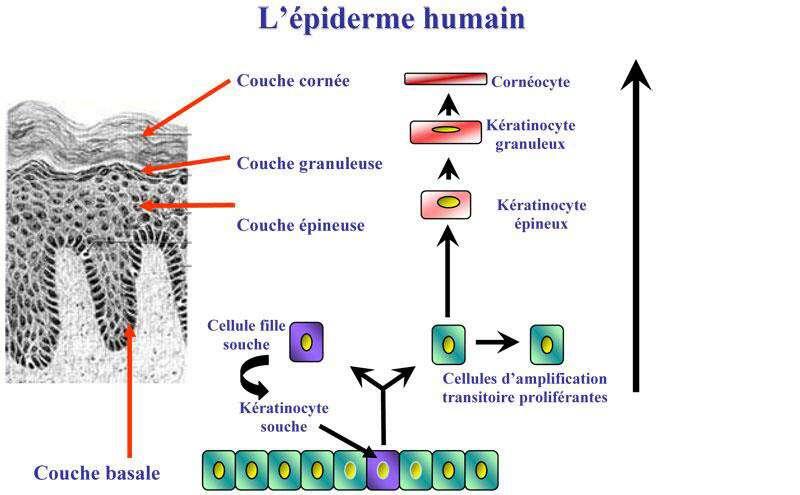 Ce schéma explique le mécanisme de renouvellement de l'épiderme. Les kératinocytes souches (en bas) se divisent en deux : une cellule fille garde la capacité à se diviser tandis que l'autre entame la différenciation. Peu à peu, celle-ci se poursuit tout en atteignant les couches externes de la peau. © I-Stem