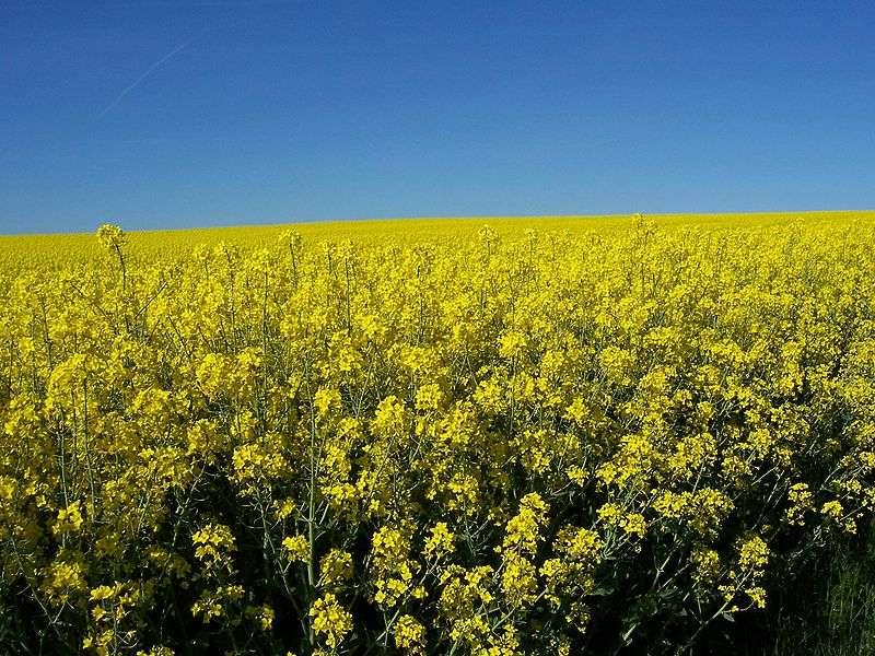 Le colza est un des OGM les plus cultivés. © DR