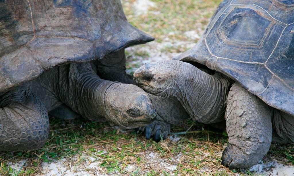 Des tortues terrestres géantes d'Aldabra sur l'île Curieuse