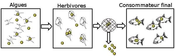 Schéma des expériences. Les algues absorbent les nanoparticules de polystyrène et les transmettent au zooplancton. Le zooplancton est donné en repas aux poissons dans un milieu ne contenant pas de nanoparticules. © Cedervall et al. 2012 Plos One