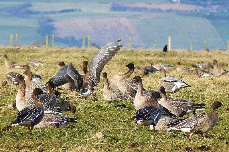 Oies à bec court en Grande-Bretagne. © Duncan Brown, Wikipédia, cc by 2.0