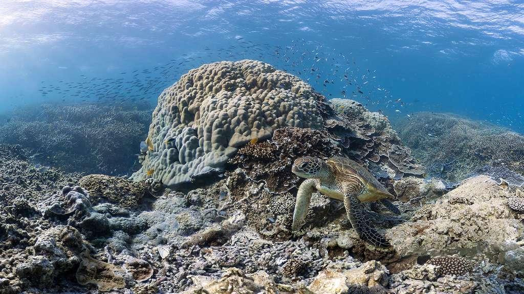 Une majestueuse tortue verte australienne