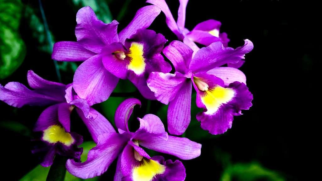 Orchidées au Pak Khlong Talat, le marché aux fleurs de Bangkok