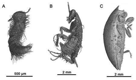Trois images d'animaux inclus dans l'ambre opaque de Charente. A : un myriapode (Polyxenida sp.) ; B : deux blattes, l'une adulte, l'autre jeune ; C : un coléoptere (Elateroidea) © M. Lak, P. Tafforeau, D. Néraudeau (ESRF Grenoble et UMR CNRS 6118 Rennes)