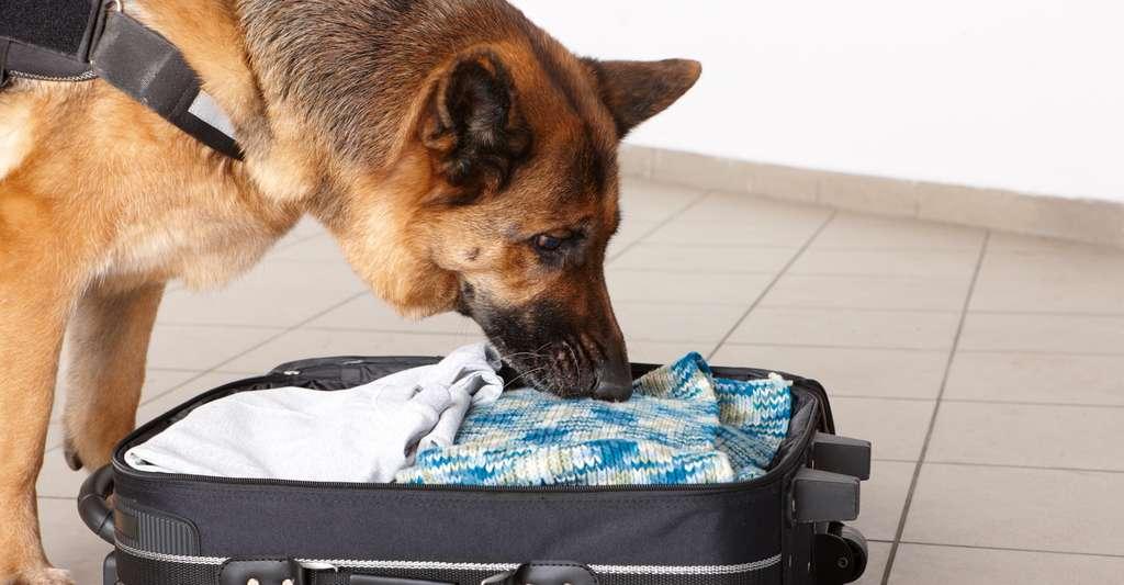 Certains chiens sont désormais entraînés à détecter des appareils électroniques susceptibles de contenir des preuves (smartphones, clé USB, etc.) © Monika Wisniewska, Fotolia