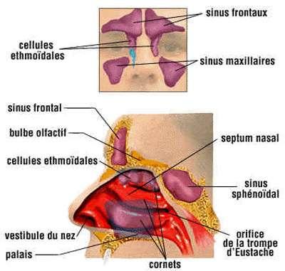 Schéma du nez. © DR