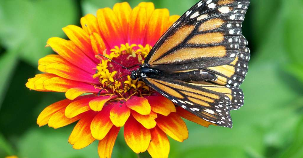 Les insectes pollinisateurs jouent un rôle essentiel. Ici, un papillon appelé « monarque » sur un zinnia. © PublicDomainPictures, DP