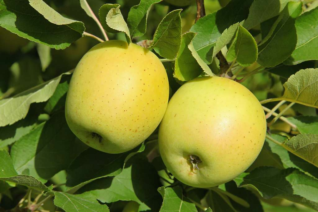 La pomme Golden se récolte toute l'année. © hcast, Adobe Stock