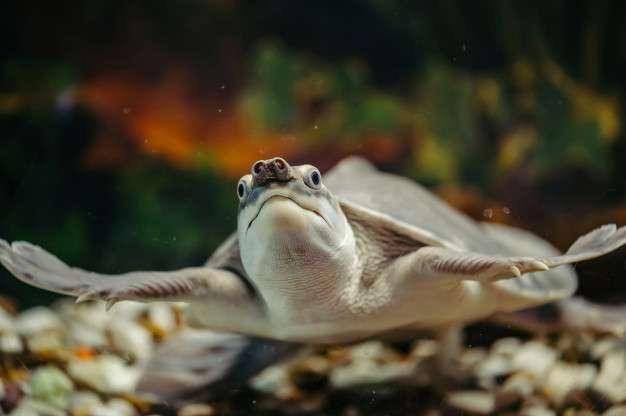 Une tortue à nez de cochon. © Freepik