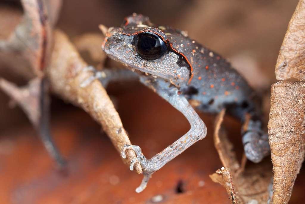 Leptobrachium abbotti, une grenouille aux grands yeux
