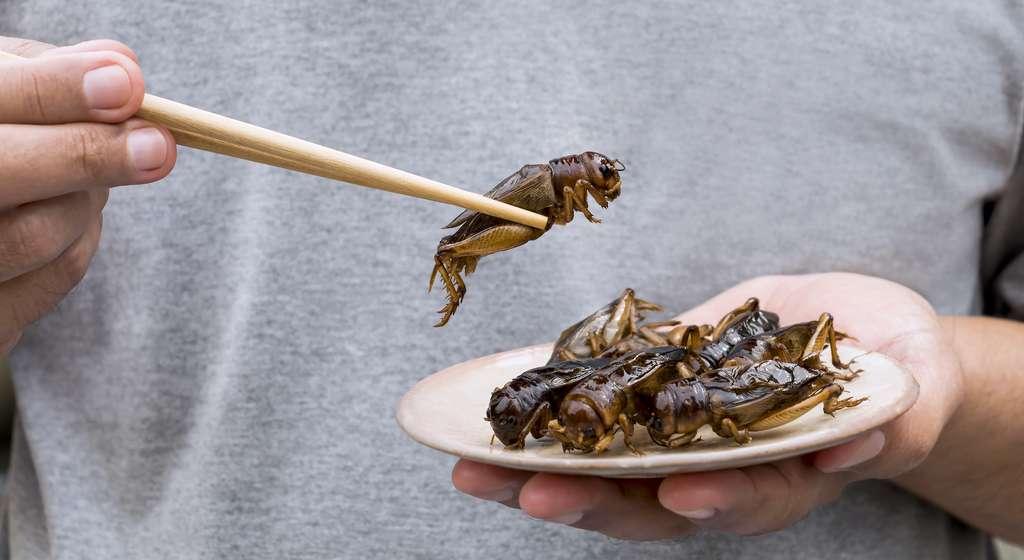 Les insectes comestibles ont toujours fait partie du régime alimentaire des hommes. Et à travers le monde, certains rapportent que les récoltes sont aujourd'hui de plus en plus longues et délicates, vraisemblablement du fait d'une augmentation du nombre de récolteurs et d'une diminution du nombre d'insectes. Longtemps considérée comme inépuisable, la ressource ne l'est finalement pas réellement. © nicemyphoto, Adobe Stock