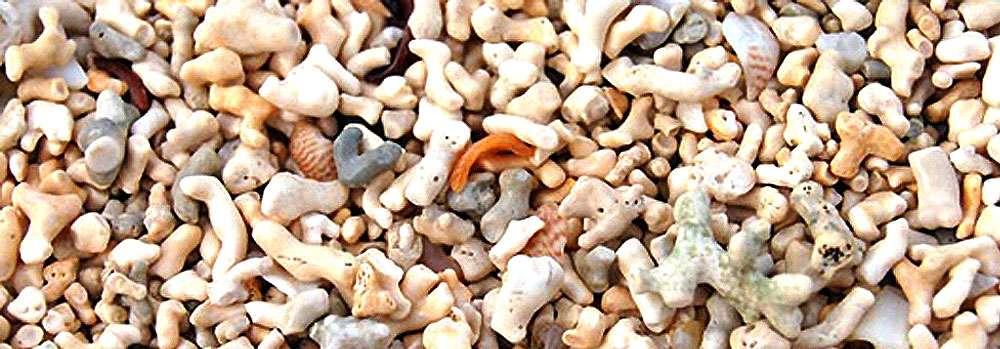 Du maërl à Coral Beach. © Claire König, DR