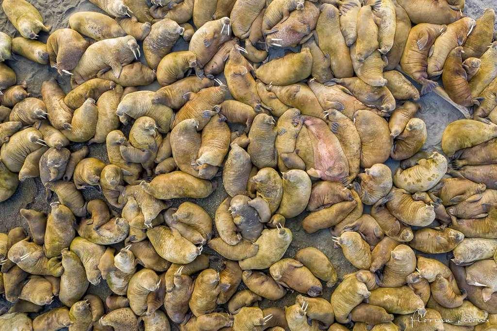 Vue aérienne au-dessus d'une colonie de morses de plus de 210 individus. © Florian Ledoux, tous droits réservés