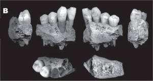 Les morceaux de mandibules attribués à un enfant néandertalien. Le doute subsiste. Dans le cas contraire, l'affaire serait celle d'un acte de cannibalisme... © Fernando V. Ramirez Rozzi et al./ Journal of Anthropological Sciences