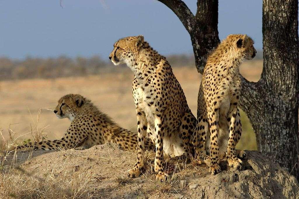 Famille de guépards (Acinonyx jubatus). Il ne reste qu'un peu plus de 12.000 individus de cette espèce dans le monde. © James Temple, CC by 2.0