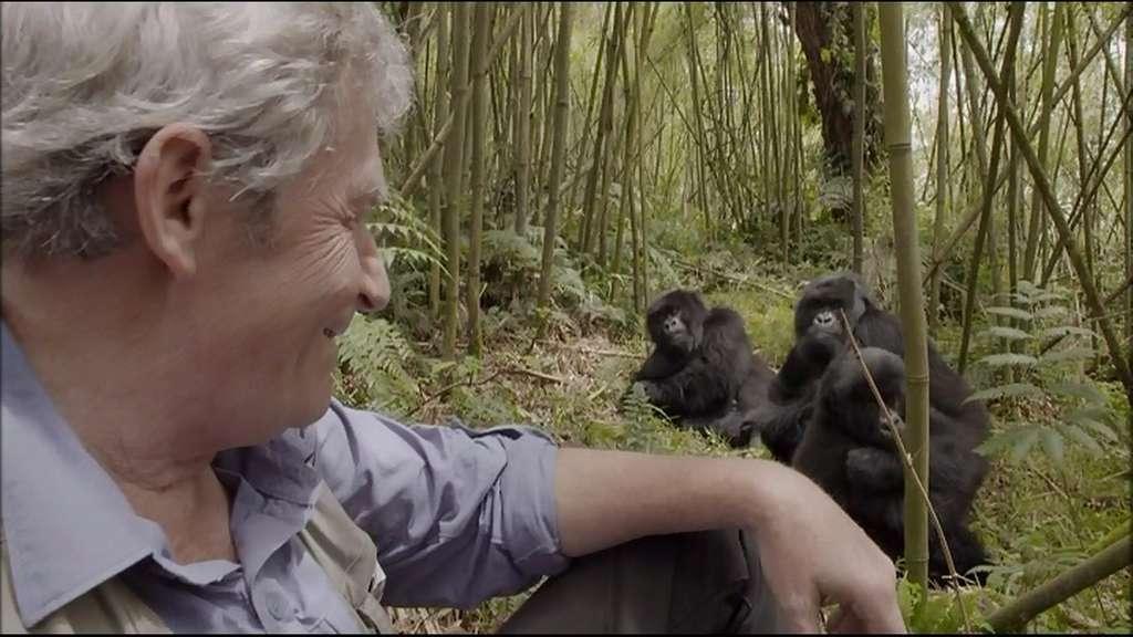 Les gorilles se laissent approcher facilement pour peu qu'on ne les dérange pas trop, ce qui, justement, impose désormais de limiter strictement les visites, effectuées sous le contrôle des guides du parc. Cette image est donc exceptionnelle. André Lucas a eu une autorisation rare. Mais il ne craint pas grand-chose. « J'ai eu l'occasion de discuter du sujet avec des pygmées. Nous, nous imaginons King Kong en voyant un gorille, mais eux disent qu'il est bien moins dangereux qu'un buffle », nous explique Jean-Christophe de Revière, réalisateur du film. © Frontview Production, MFP (image extraite du film)