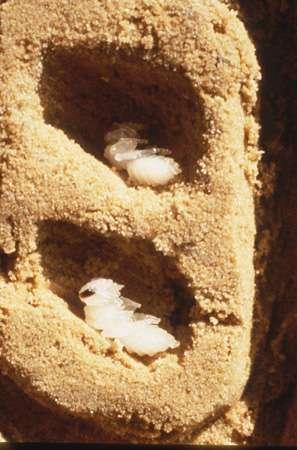 Nid expérimental artificiel abritant deux nymphes ouvrières d'abeilles Evylaeus albipes. © Plateaux Véronique, CNRS laboratoire : URA1293 ; CNRS, photothèque, reproduction et utilisation interdites