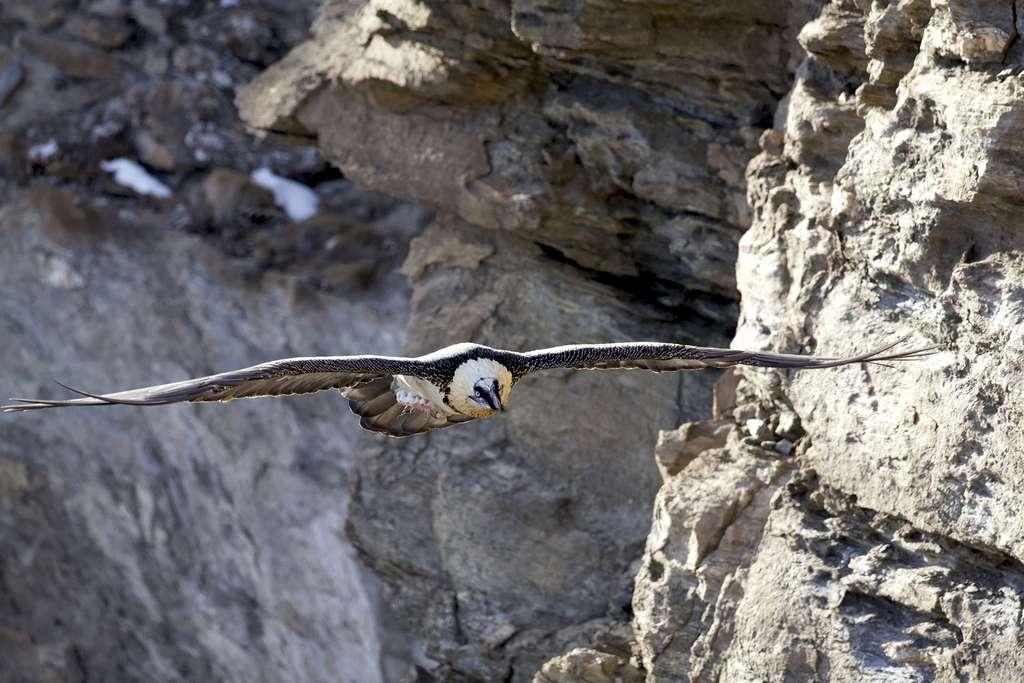 Gypaète barbu, le plus grand vautour de la faune européenne