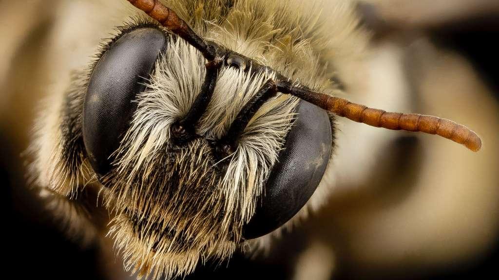 Eucerinoda gayi, une abeille du Chili