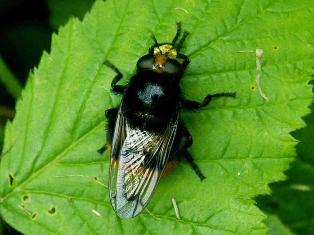 Volucella bombylans - Volucelle bourdon