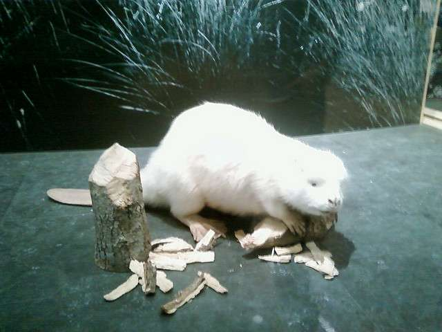 Un castor albinos