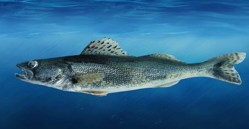 Que savez-vous de l'anatomie des poissons ? Ici, un doré noir. © Michiganseagrant, CC by-nc 2.0