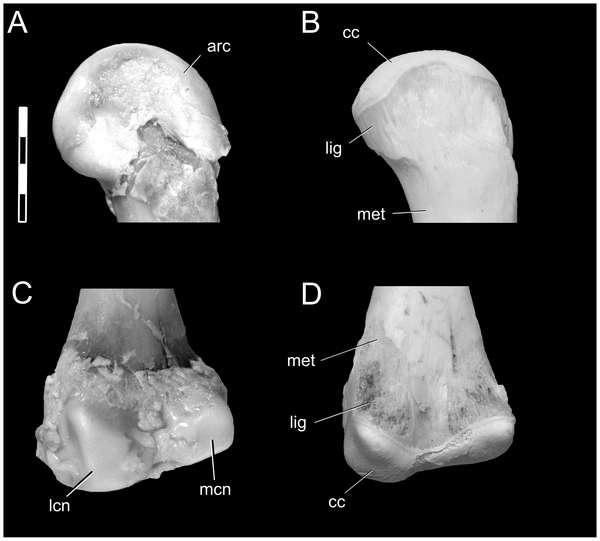 Visualisation des extrémités supérieure (haut) et inférieure (bas) d'un fémur d'alligator, avant (gauche) et après (droite) décomposition des tissus mous. Abréviations : arc, cartilage articulaire ; cc, cartilage calcifié ; lig, empreinte de ligament ; lfc, condyle fémoral latéral ; met, métaphyse ; mfc, condyle fémoral médian. La barre d'échelle représente 0,5 centimètre. © Plos One