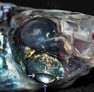Vue latérale de l'œil droit du poisson : la flèche bleue montre la réflexion de la lumière dans le miroir situé dans l'œil. © Partridge et al., Proceedings of the Royal Society B, cc by 3.0