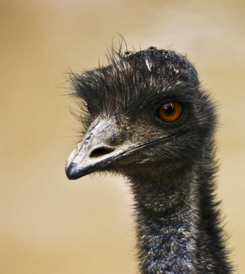 L'émeu d'Australie, un oiseau qui pèse le bien… et le mâle !