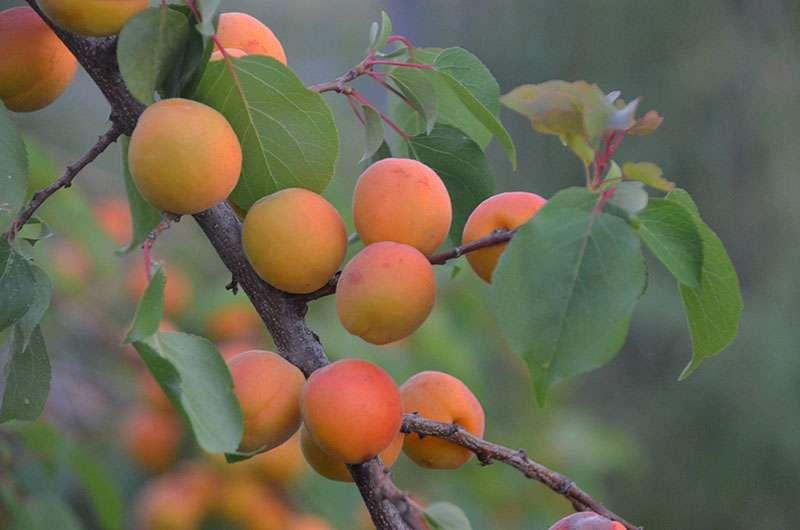 Abricot bergeron. © RuffnerRobinson, Pixabay, DP