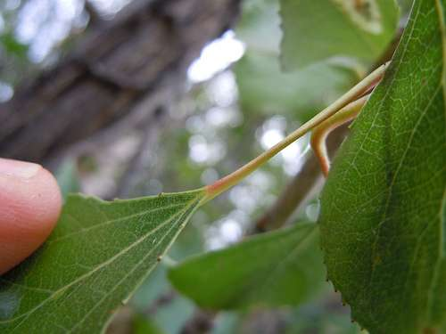 Populus nigra. © Matt Lavin, Flickr CC by nc-sa 3.0