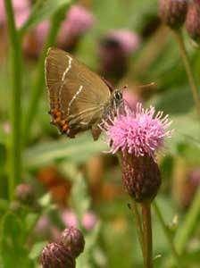 La thécla de l'orme est un papillon inféodé à l'orme © Photo : Leif Wahlberg