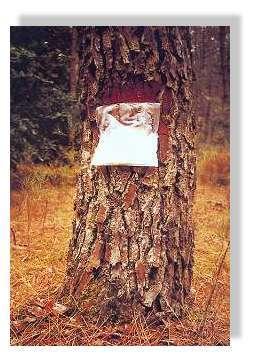 """Le gemmage aujourd'hui - Procédé de """"gemmage en vase clos"""" inventé par Claude Courau. La résine est recueillie dans une poche en plastique. © Claude Courau - """"Le gemmage en forêt de Gascogne"""" : Princi Negre Editions - Tous droits réservés"""