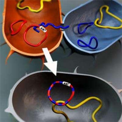 Le mécanisme de conjugaison permet de transférer de l'ADN plasmidique circulaire entre deux cellules non parentes, et donc de transmettre des gènes de résistance aux antibiotiques. © Björn Norberg