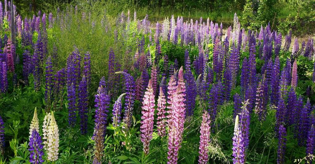 Qu'est-ce qu'un engrais vert ? Ici, champ de lupins. © Hietaparta, Pixabay, DP