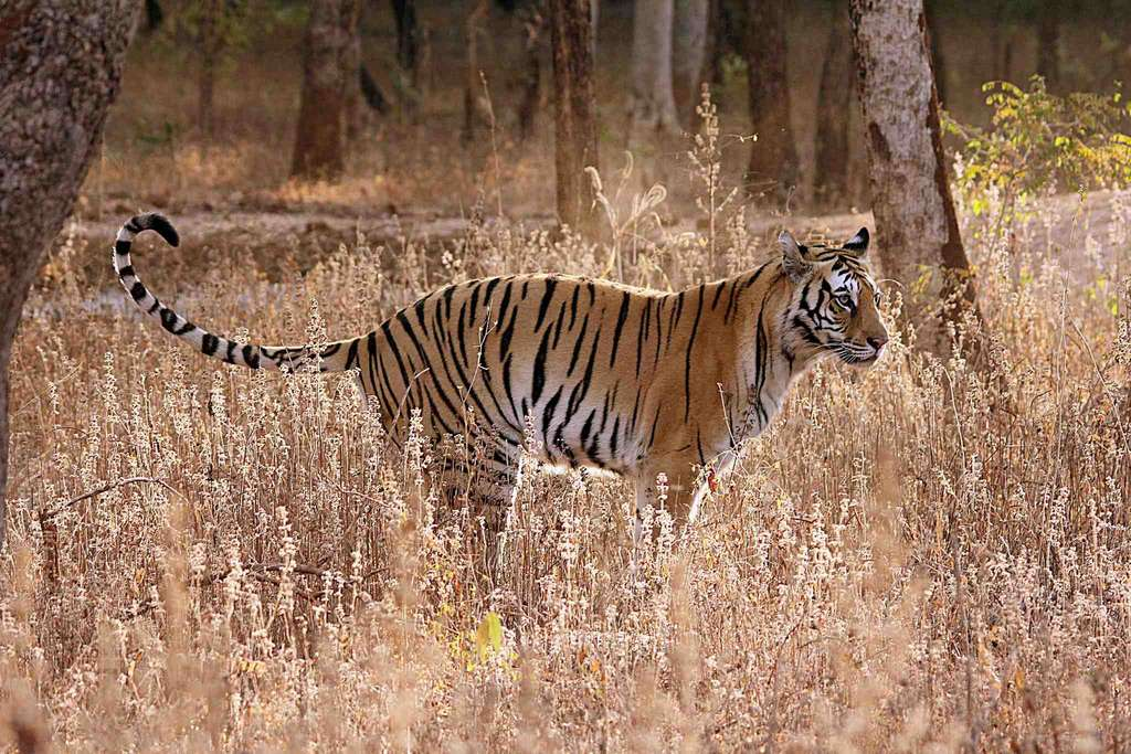 Tigre. © omveerchoudhary, iNaturalist