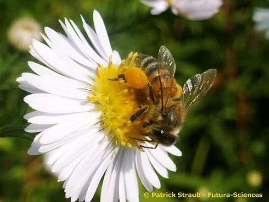 Abeille sociale (Apis mellifera mellifera). © Reproduction et utilisation interdites